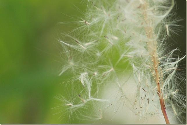 チガヤの綿毛