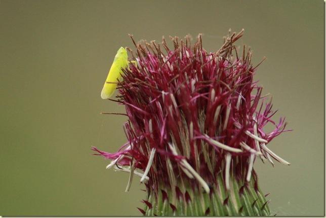 ヨコバイの仲間と花の終わったアザミ